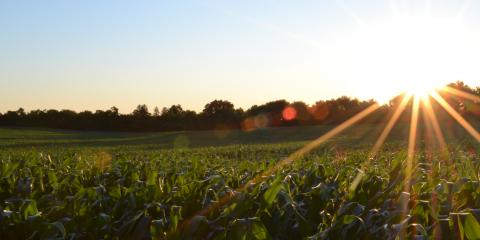 A field of corn with the sun peeking out from trees in the distance